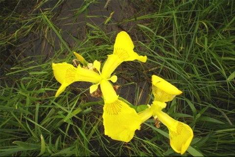 Sárga nőszirom (Iris pseudacorus)