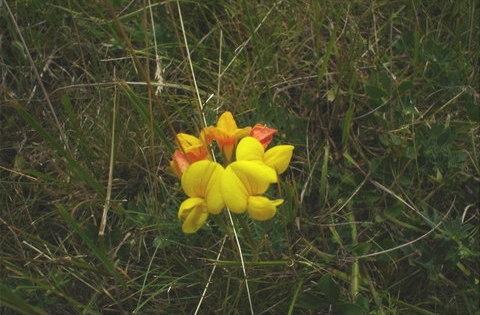 Sziki kerep (lotus tenuis)