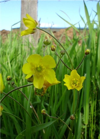 Ujjas boglárka (Ranunculus pedatus)
